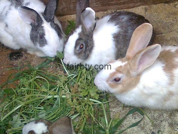 Photo of تجربتي مع تربية الأرانب