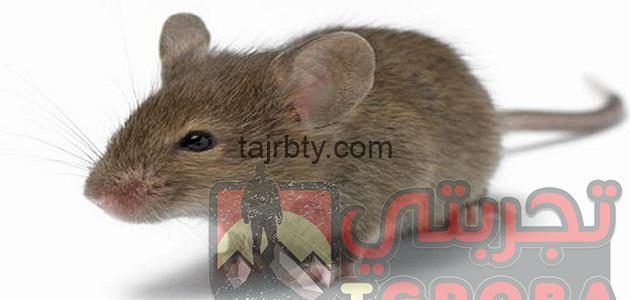Photo of تفسير رؤية الفأر في المنام