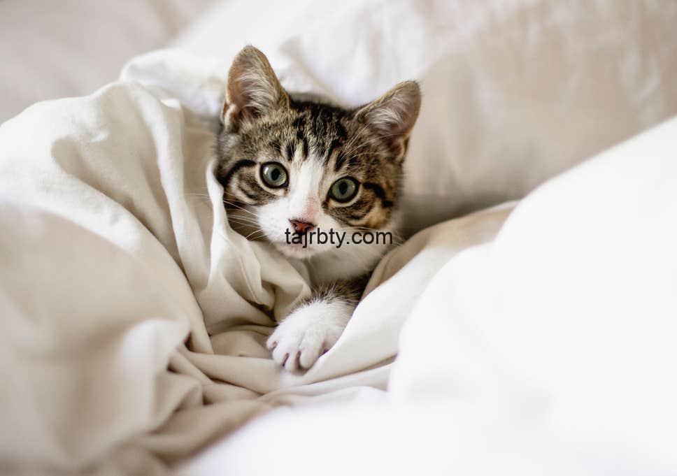 Photo of علاج البراغيث عند القطط بطرق طبيعية وفعالة للقضاء نهائيا على براغيث القطط