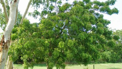 Photo of تجربتي مع شجرة النيم وأهم فوائدها