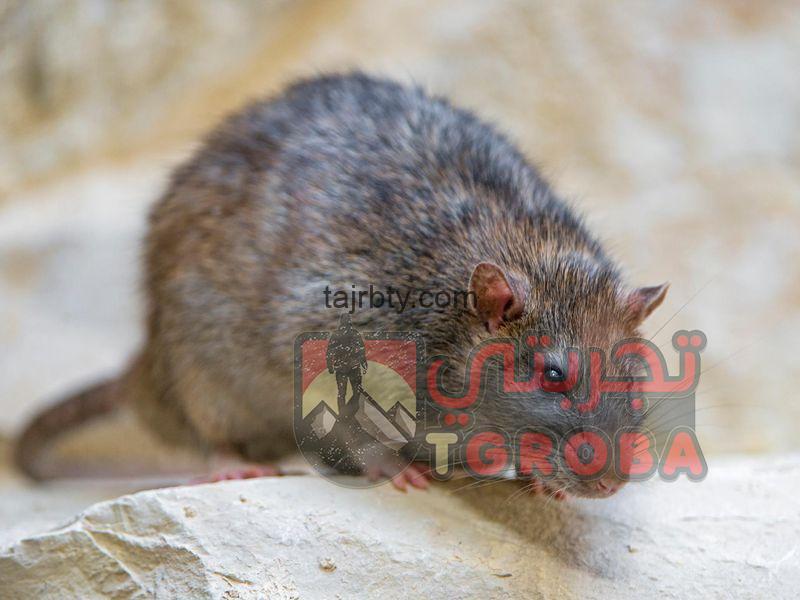 كيفية التخلص من الفئران نهائيا،