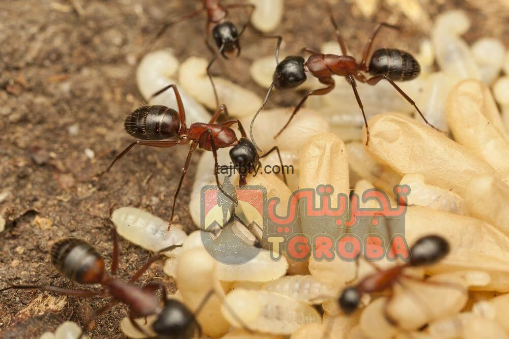 Photo of كيفية التخلص من النمل بصورة نهائية بأفضل الطرق المضمونة