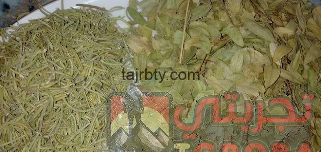 Photo of عشبة الاس للشعر جابر القحطاني فوائدها وطريقة استعمالها