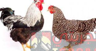 تفسير رؤية الدجاج المذبوح او الحي في المنام