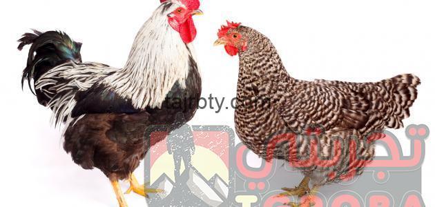 Photo of تفسير رؤية الدجاج المذبوح او الحي في المنام