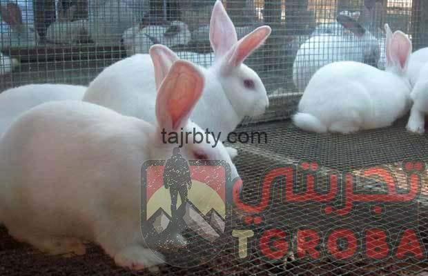 Photo of تربية الأرانب المصرية من الالف للياء
