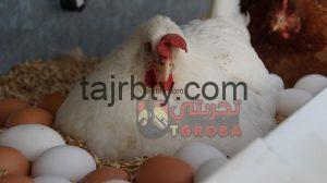 اعشاب لزيادة بيض الدجاج