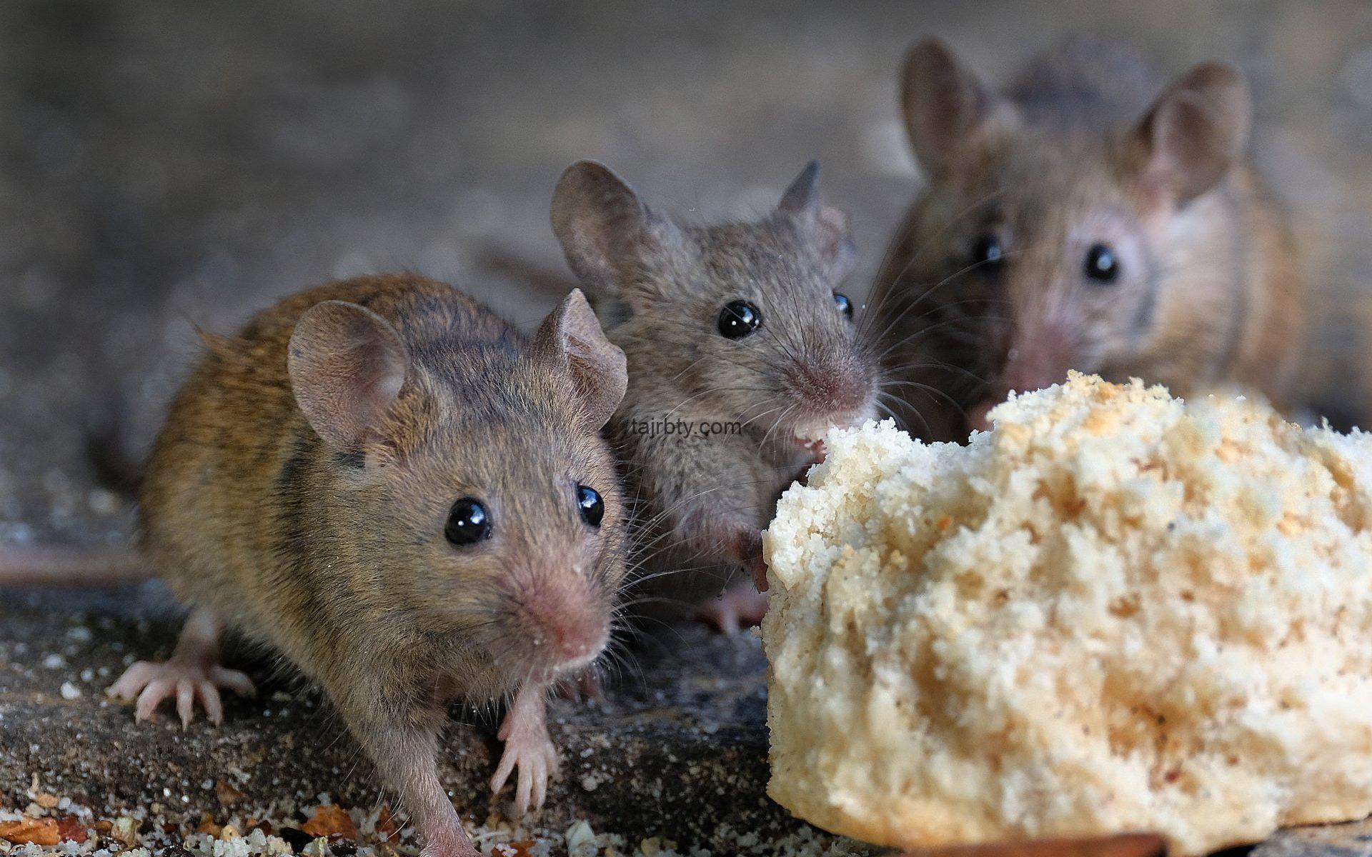 أسرع حل لطرد الفئران من المنزل