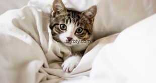 علاج البراغيث عند القطط
