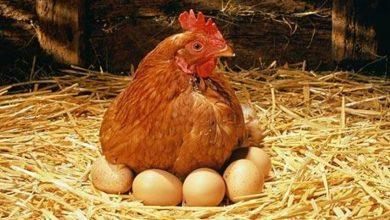 Photo of اعشاب لزيادة بيض الدجاج