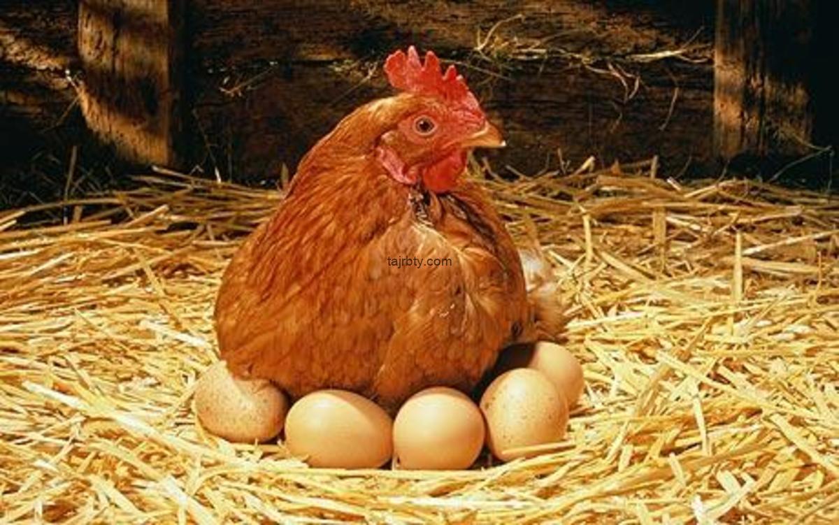 كيف تجعل الدجاج يبيض يوميا
