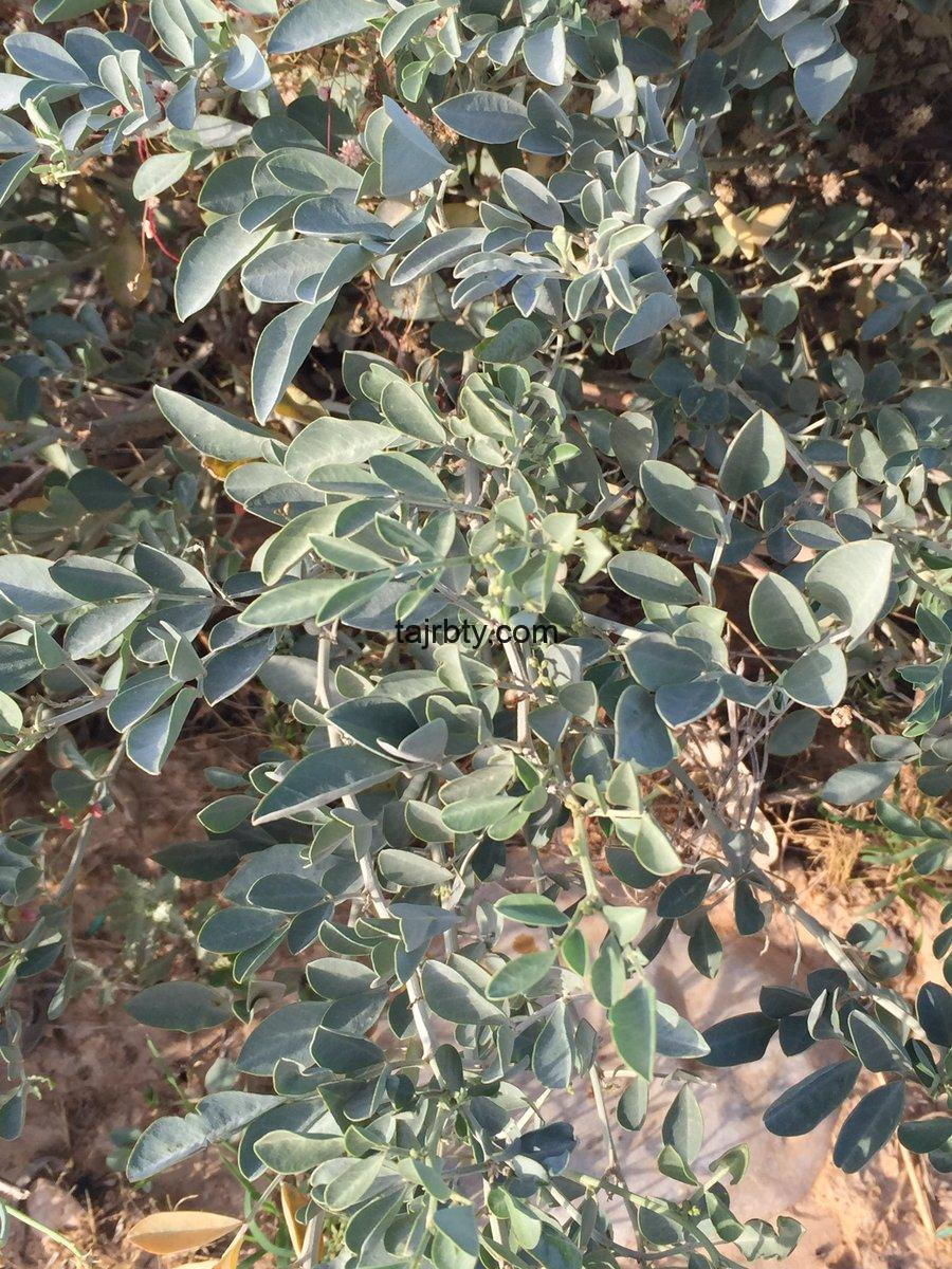 Photo of عشبة الوسمة فاطمه العلي
