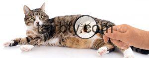 كيفية اعطاء امبول الحشرات للقطط