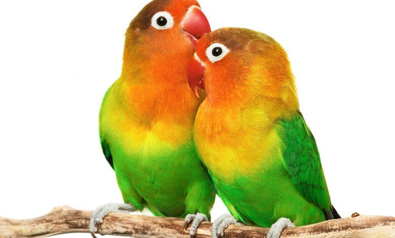 أنواع طائر الروز وسعر طائر الروز