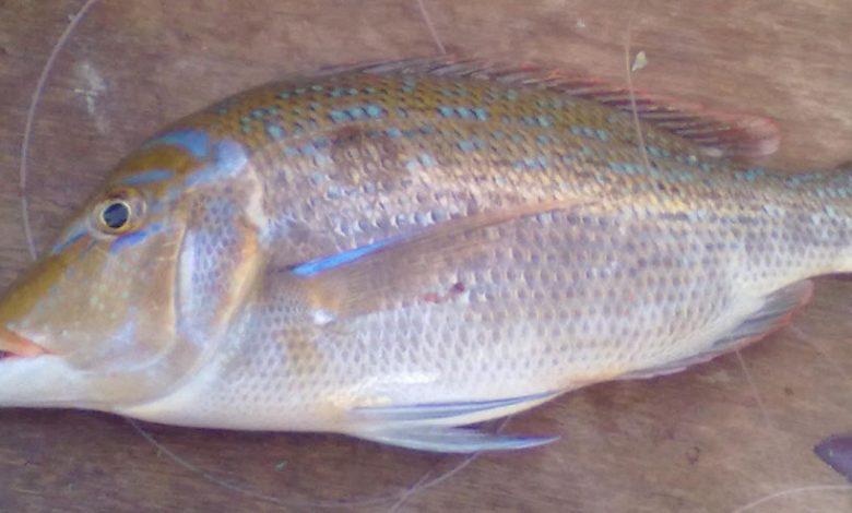 تفسير السمك المبطرخ في المنام